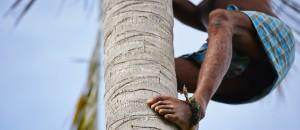 Bild - Ernte der Kokosnuss