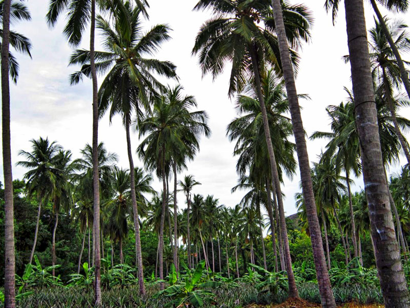 Anbau der Kokosnuss